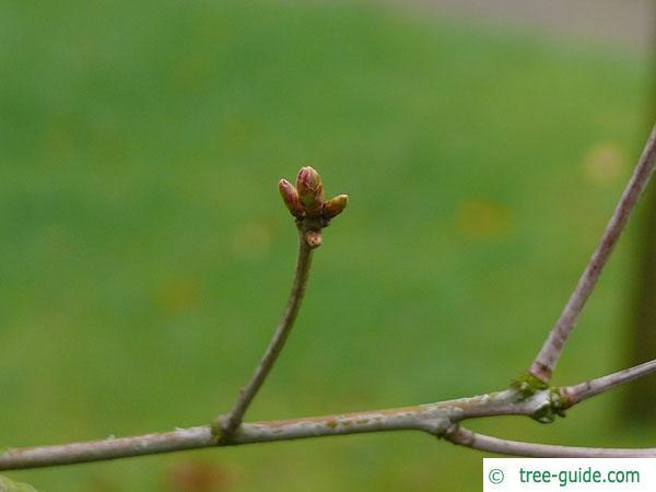 white oak (Quercus alba) axial buds