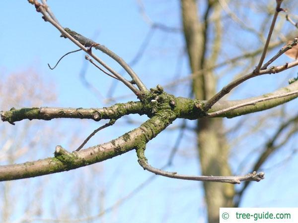 white oak (Quercus alba) branch