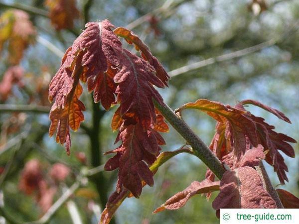 white oak (Quercus alba) budding