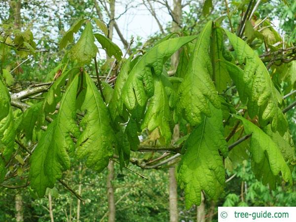 white oak (Quercus alba) leaves