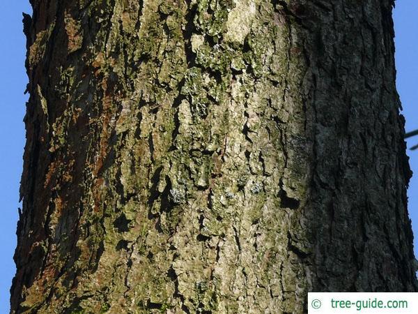 white oak (Quercus alba) trunk / bark