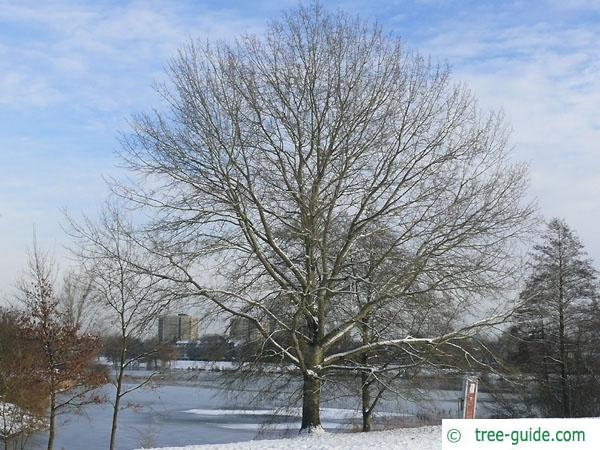 white poplar (Populus alba) tree in winter