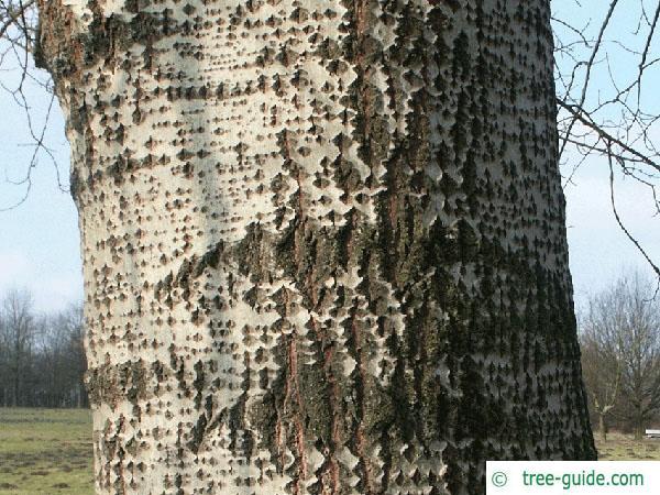 white poplar (Populus alba) twig