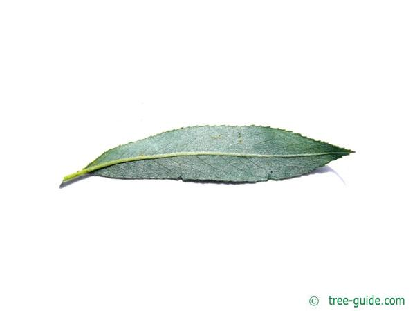 white willow (Salix alba) leaf underside