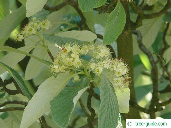 whitebeam (Sorbus aria) flower