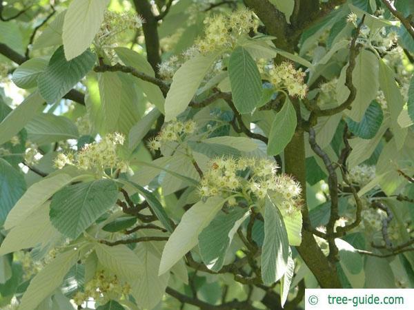 whitebeam (Sorbus aria) flowers