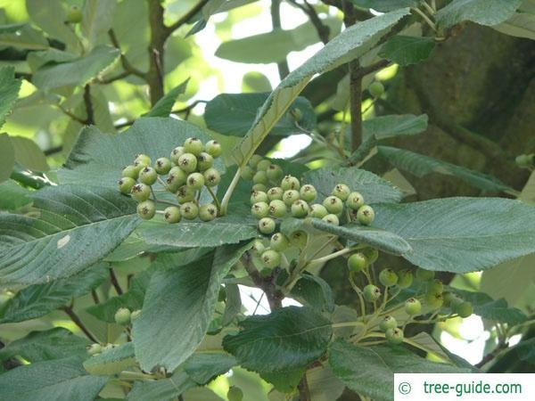 whitebeam (Sorbus aria) fruit