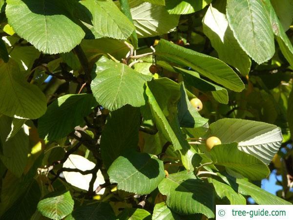whitebeam (Sorbus aria) leaves