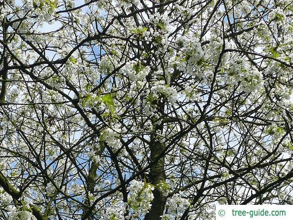 wild cherry (Prunus avium) flowers