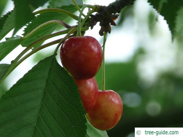 wild cherry (Prunus avium) friut / cherry