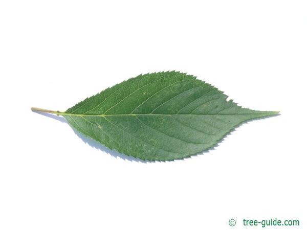 wild cherry (Prunus avium) leaf