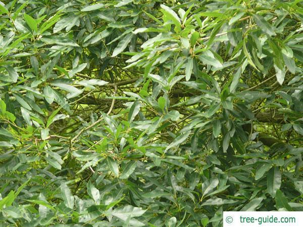 willow oak (Quercus phellos) leaves