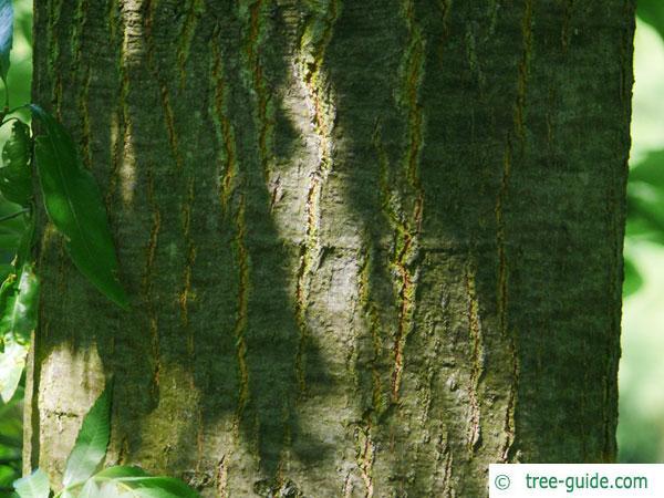 willow oak (Quercus phellos) trunk / bark