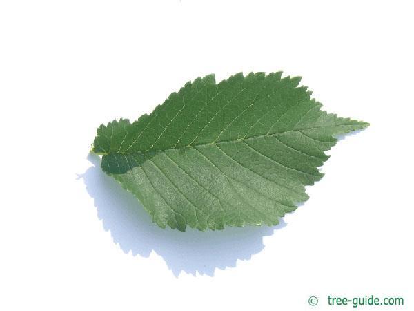 wych elm (Ulmus glabra) leaf