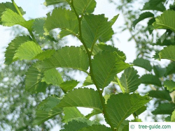 wych elm (Ulmus glabra) leaves