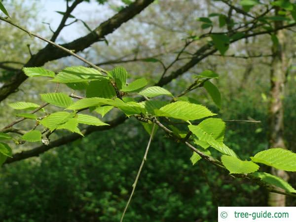 yellow birch (Betula alleghaniensis) leaves in may