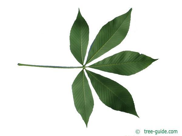 yellow buckeye (Aesculus flava) leaf underside