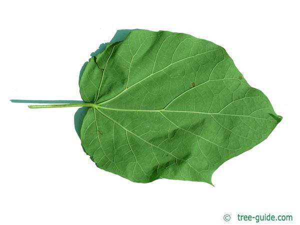 yellow catalpa (Catalps ovata) leaf underside