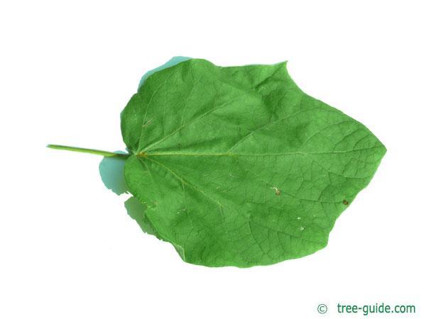 yellow catalpa (Catalps ovata) leaf