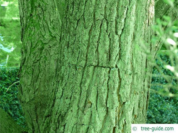 yellow catalpa (Catalps ovata) trunk / bark