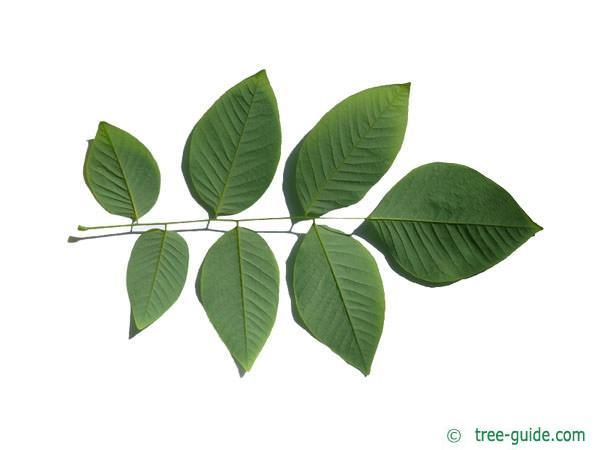 yellowwood (Cladrastis kentukea) leaf underside