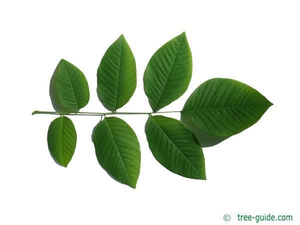 yellowwood (Cladrastis kentukea) leaf