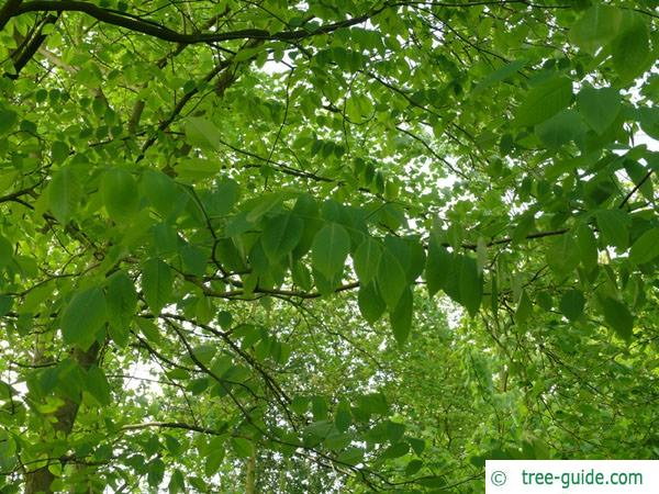 yellowwood (Cladrastis kentukea) leaves