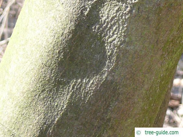 yellowwood (Cladrastis kentukea) trunk / bark
