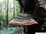 red banned polypore (Fomitopsis pinicola)