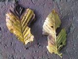 hornbeam leaf spots