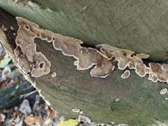 bleeding broadleaf crust (Stereum rugosum) beech