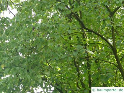 alder buckthorn (Rhamnus frangula) crown