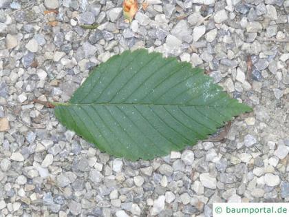 american elm (Ulmus americana) leaf