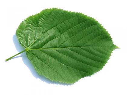 large leaved american lime(Tilia americacna 'Nova') leaf
