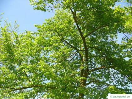 american Lime (Tilia americana) crown