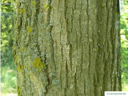american Lime (Tilia americana) trunk / bark