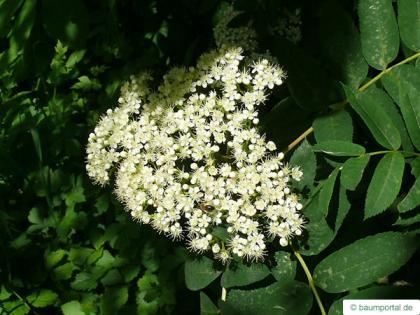 american mountain ash (Sorbus americana) flower
