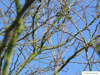 american snowbell (Styrax americanus) crown in Winter