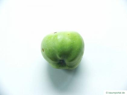 apple (Malus hybrid) fruit