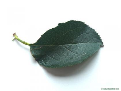 apple (Malus hybrid) leaf