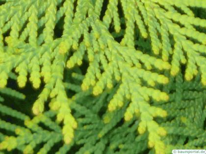 atlantic white cedar (Thuja occidentalis) needle