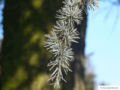 Atlas cedar (Cedrus atlantica 'Glauca') needle