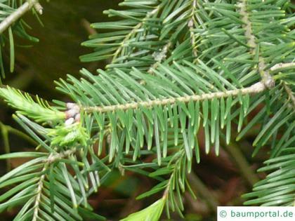 balsam fir (Abies balsamea) needles