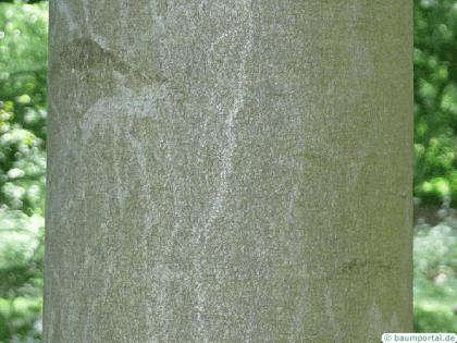 beech (Fagus sylvatica) trunk