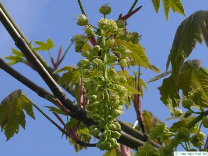 big leaf maple (Acer macrophyllum) flowers of