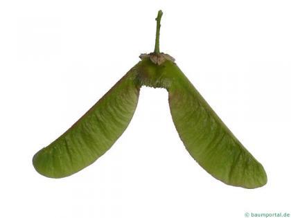big leaf maple (Acer macrophyllum) fruits