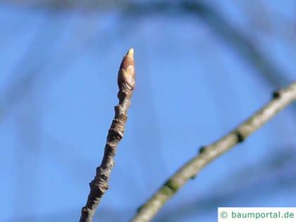 bitter berry (Prunus virginiana) buds in winter