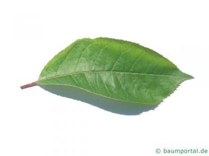 bitter berry (Prunus virginiana) leaf