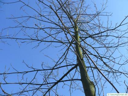 bitternut (Carya cordiformis) crown winter