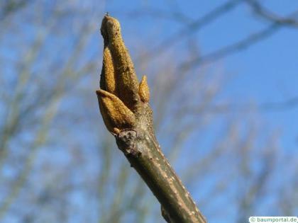 bitternut (Carya cordiformis) terminal bud